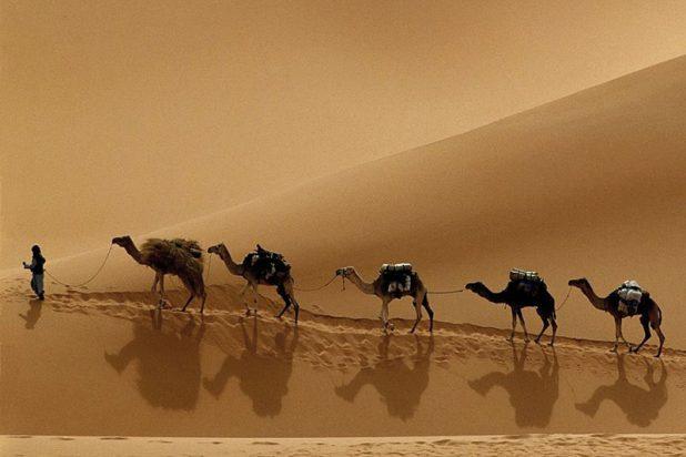 Desert Safari Chameaux