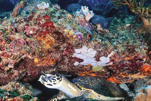 Tortue-corail