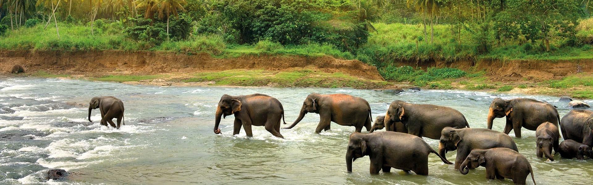 Eléphants au Sri Lanka