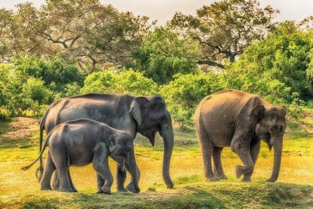 Sri Lanka: group of wild elephants in jungle of Yala National Pa