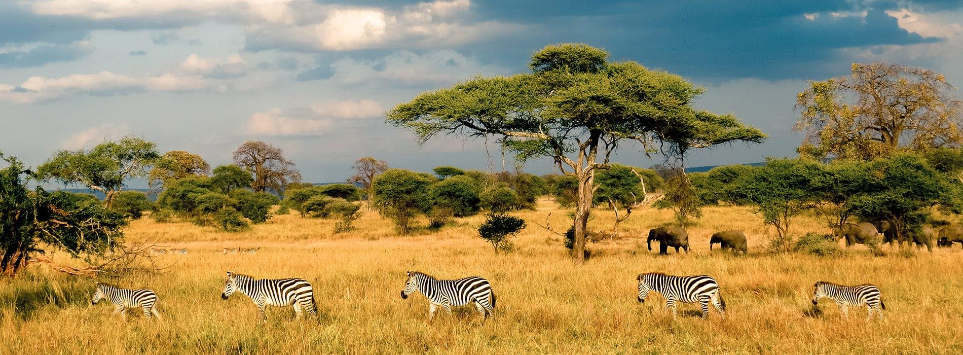 Zebres, savane, Afrique